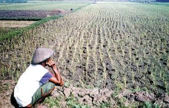 petani di sawah kering1 700 an Petani di Saba Bolak Tanam Padi Setahun Sekali